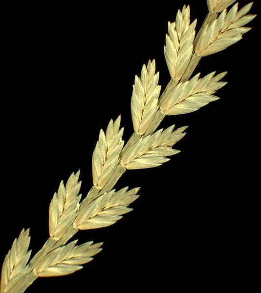Catapodium pauciflorum (Merino) Brullo, Giusso, Miniss. & Spamp.