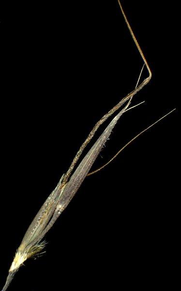 Chrysopogon gryllus (L.) Trin.