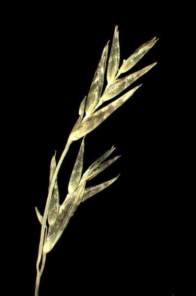 Cleistogenes serotina (L.) Keng subsp. serotina