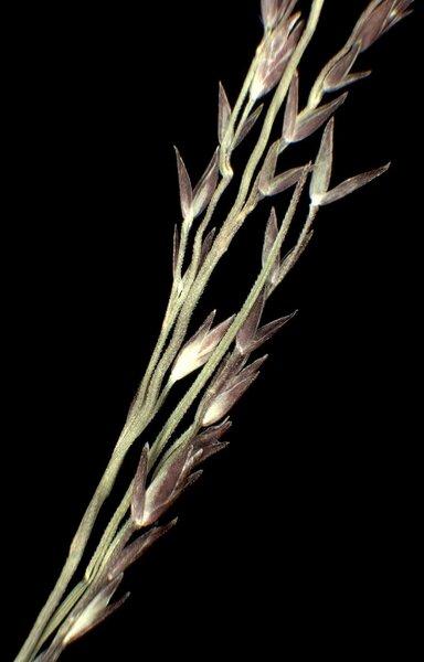 Sporobolus neglectus Nash