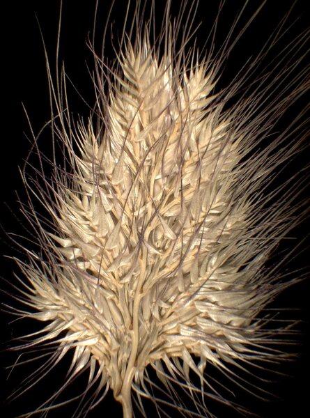 Cynosurus echinatus L.