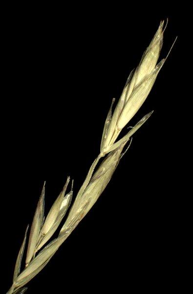 Festulolium adscendens (Retz.) Asch. & Graebn.