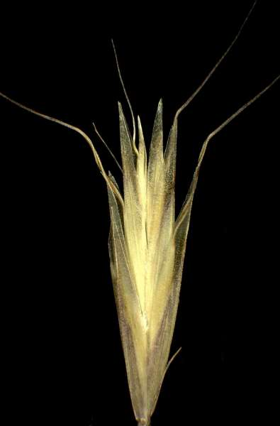 Helictochloa pratensis (L.) Romero Zarco subsp. pratensis