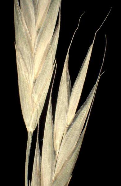 Ceratochloa carinata (Hook. & Arn.) Tutin