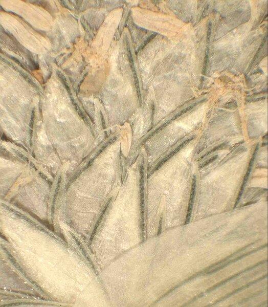 Sporobolus aculeatus (L.) P.M.Peterson