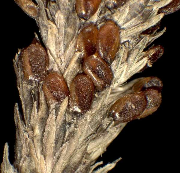 Sporobolus alopecuroides (Piller & Mitterp.) P.M.Peterson
