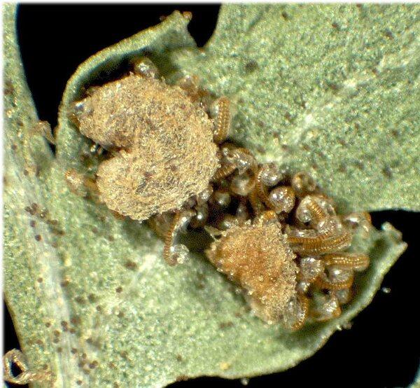 Dryopteris villarii (Bellardi) Woyn. ex Schinz & Thell.