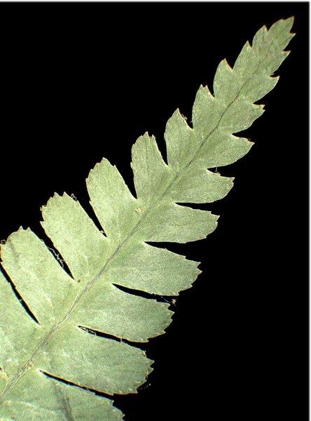 Dryopteris cambrensis (Fraser-Jenk.) J.Beitel & W.R.Buck subsp. insubrica (Oberh. & Tavel ex Fraser-Jenk.) Fraser-Jenk.