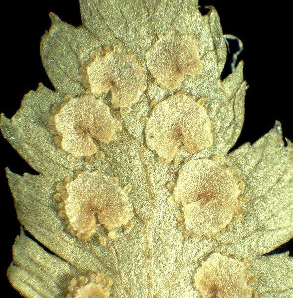 Dryopteris cristata (L.) A.Gray