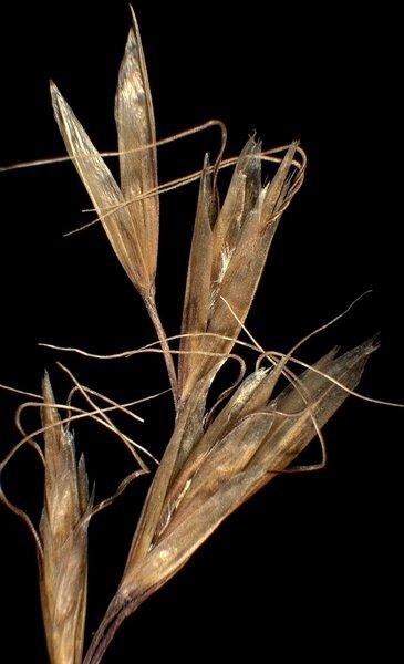 Helictochloa praeusta (Rchb.) Romero Zarco subsp. pseudoviolacea (Dalla Torre) H.Scholz