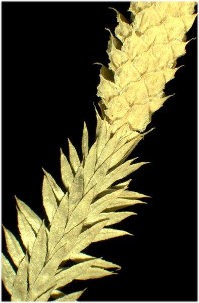 Lycopodium annotinum L. subsp. annotinum