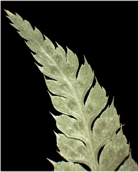 Polystichum aculeatum (L.) Roth