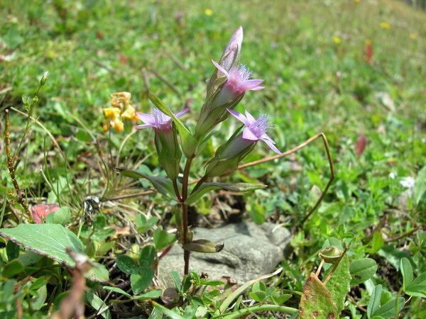 Gentianella anisodonta (Borbás) Á.Löve & D.Löve