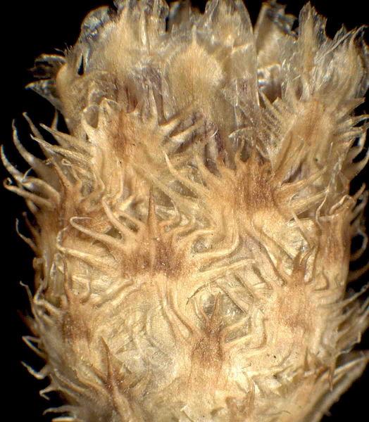 Centaurea cristata Bartl.