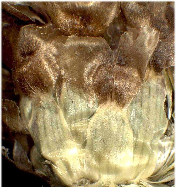 Centaurea jacea L. subsp. angustifolia (DC.) Gremli