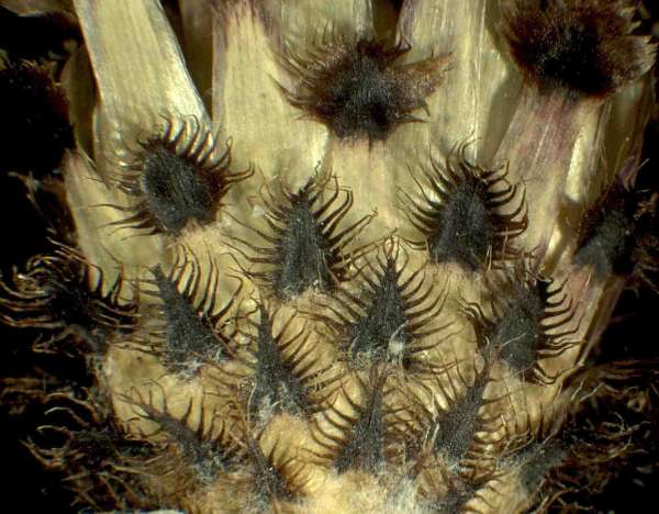 Centaurea nigrescens Willd. subsp. transalpina (Schleich. ex DC.) Nyman