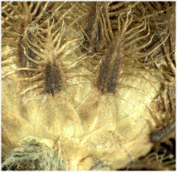 Centaurea decipiens Thuill.