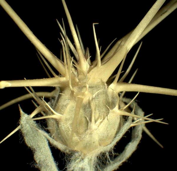 Centaurea solstitialis L. subsp. solstitialis