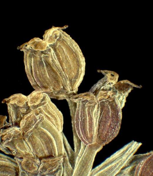 Helosciadium nodiflorum (L.) W.D.J.Koch subsp. nodiflorum