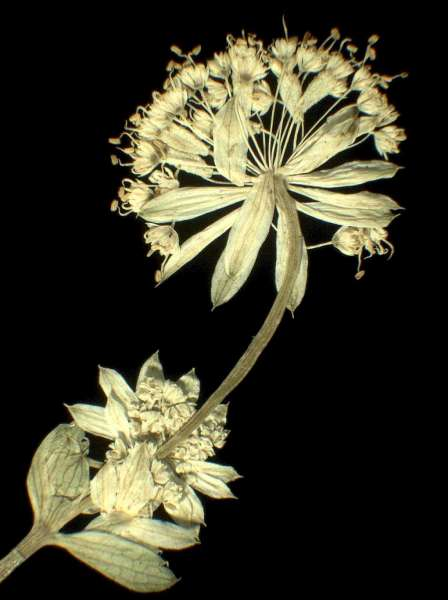 Astrantia carniolica Jacq.