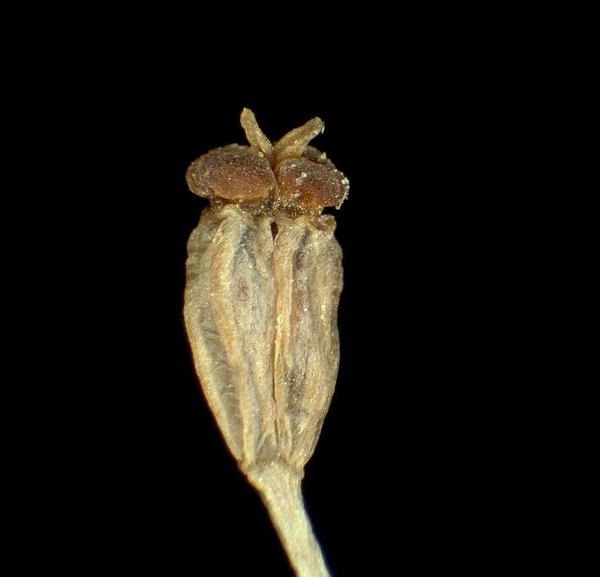 Bupleurum petraeum L.