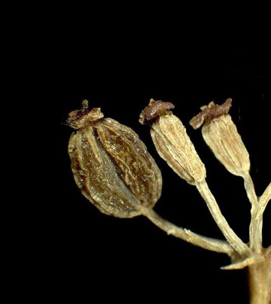 Bupleurum ranunculoides L. subsp. caricinum (DC.) Arcang.