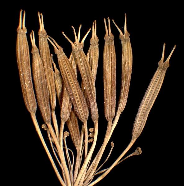 Chaerophyllum villarsii W.D.J.Koch