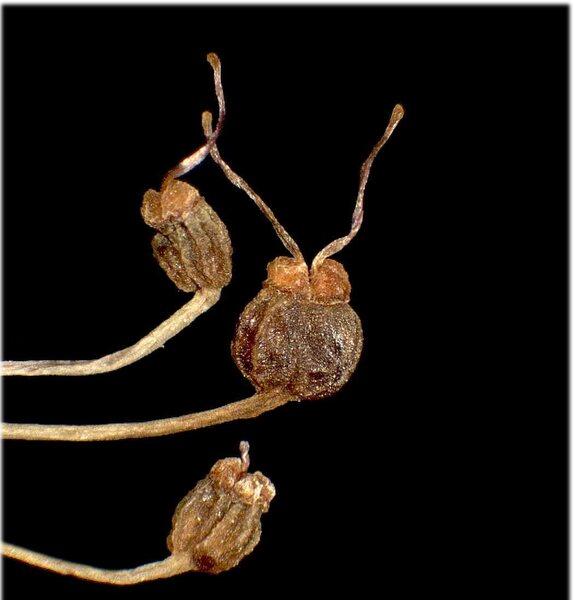 Pimpinella major (L.) Huds. subsp. rubra (Hoppe) O.Schwarz