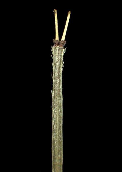 Scandix pecten-veneris L. subsp. pecten-veneris