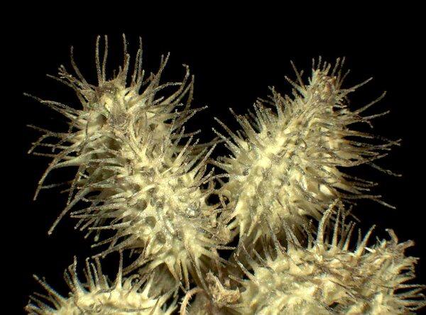 Turgenia latifolia (L.) Hoffm.