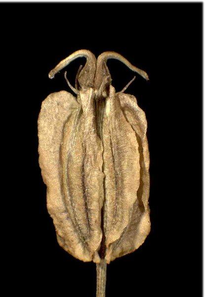 Laserpitium peucedanoides L.
