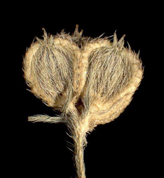 Tordylium maximum L.