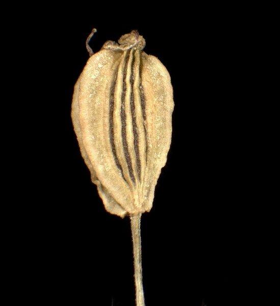 Angelica sylvestris L. subsp. sylvestris