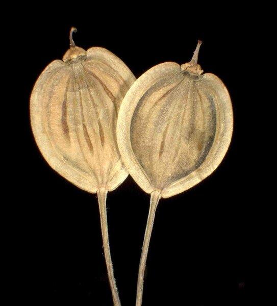 Heracleum sphondylium L. subsp. elegans (Crantz) Schübl. & G.Martens