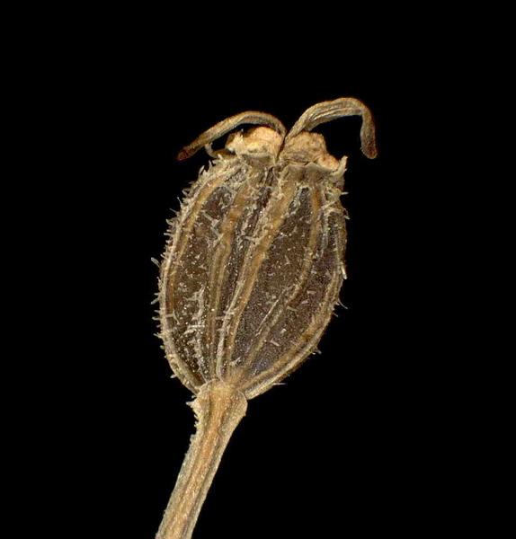 Libanotis sibirica (L.) C.A.Mey. subsp. pyrenaica (L.) O.Schwarz