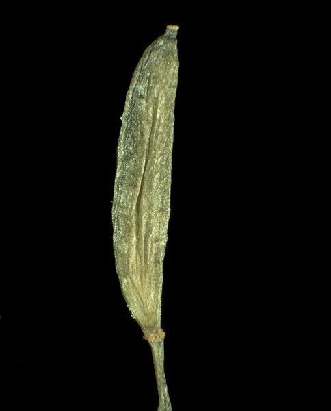 Draba siliquosa M.Bieb.