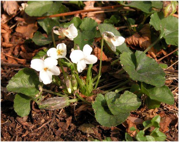 Viola alba Besser