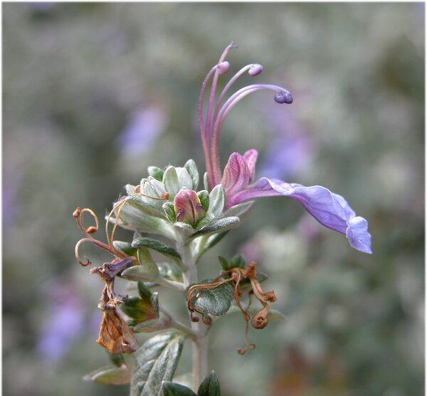 Teucrium fruticans L. subsp. fruticans