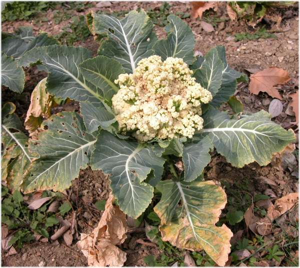 Brassica oleracea L. conv. botrytis var. botrytis L.