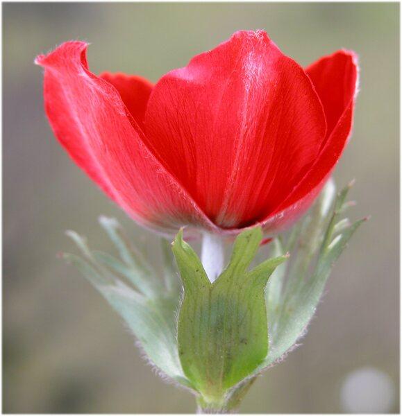 Anemone coronaria L.