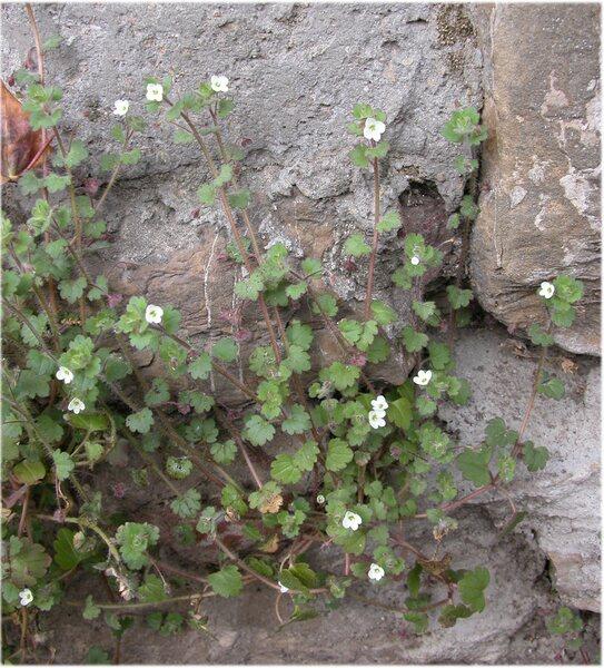Veronica cymbalaria Bodard subsp. cymbalaria