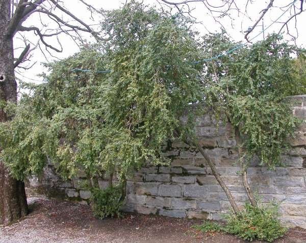 Buxus balearica Lam.