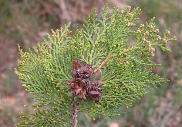 Platycladus orientalis (L.) Franco