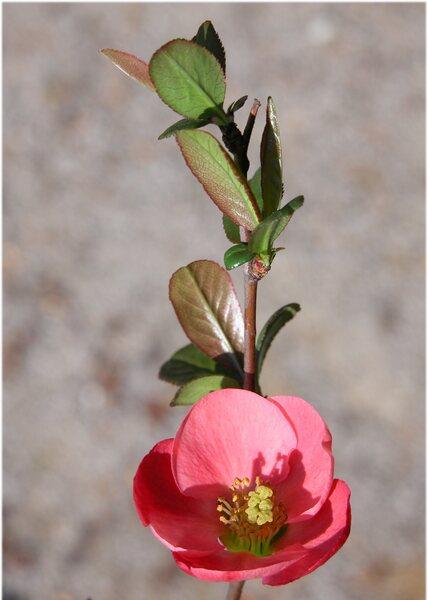 Chaenomeles japonica (Thunb.) Lindl. ex Spach