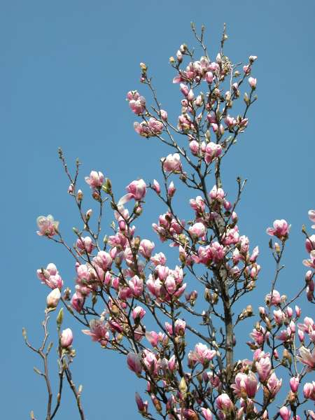 Magnolia liliiflora Desr.