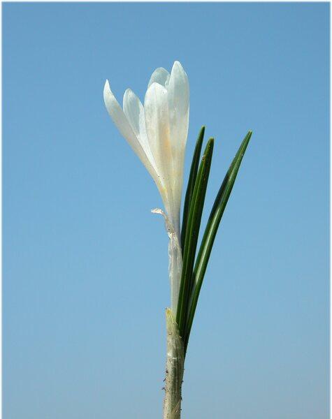 Crocus vernus (L.) Hill