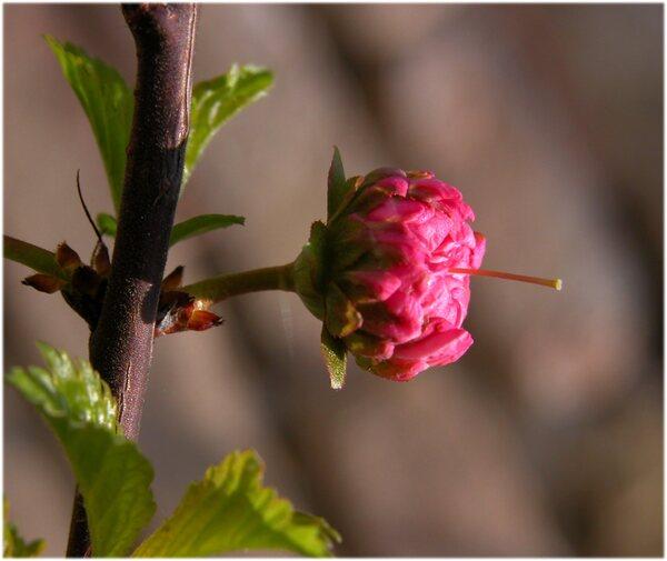 Prunus triloba Lindl.