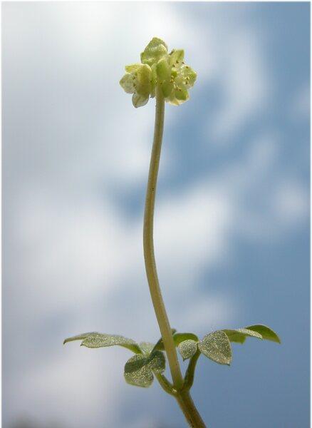 Adoxa moschatellina L. subsp. moschatellina
