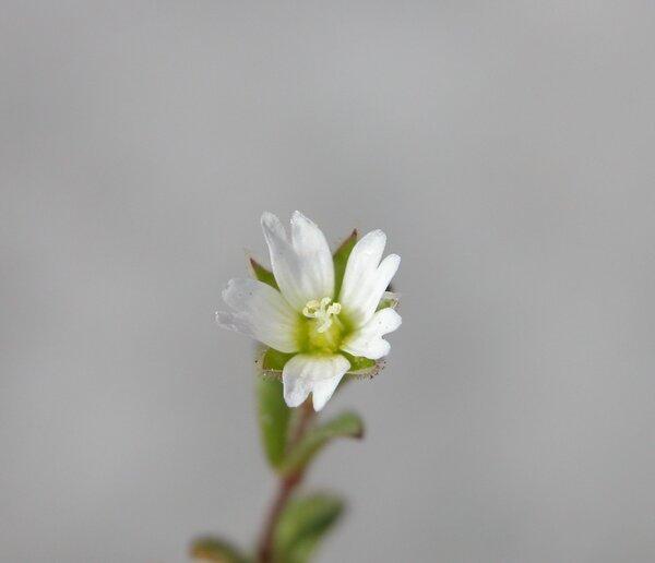 Cerastium pumilum Curtis