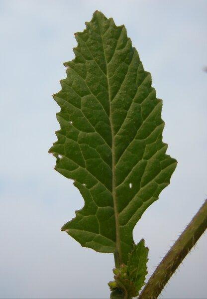 Sinapis arvensis L. subsp. arvensis
